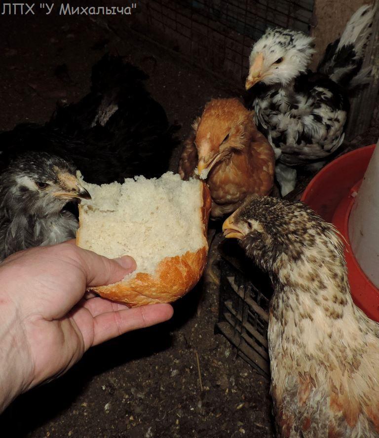 Гилянская порода кур, Gilan breed chickens - Страница 4 Oaez-070