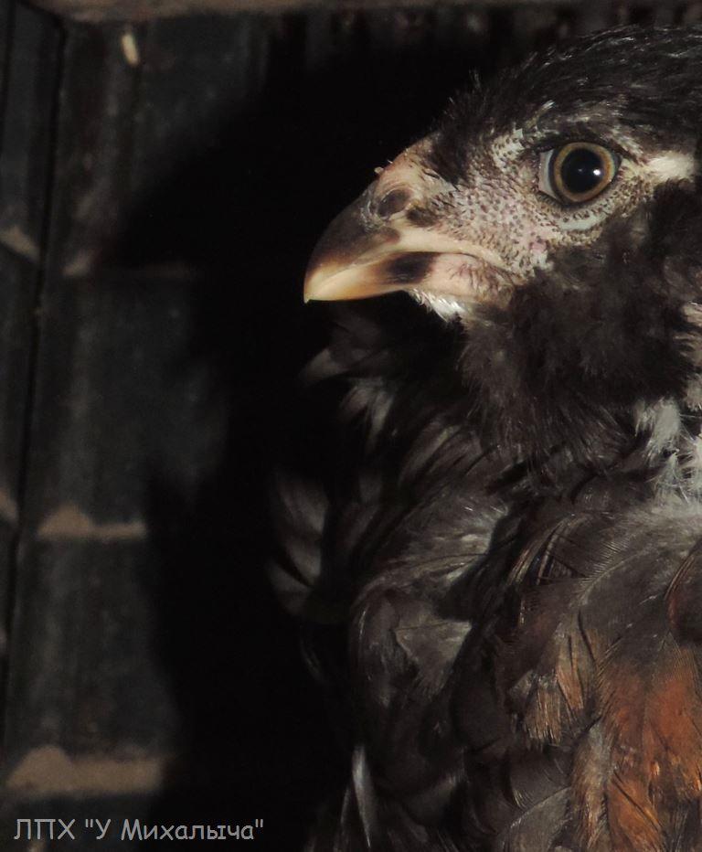 Гилянская порода кур, Gilan breed chickens - Страница 4 Oaez-077