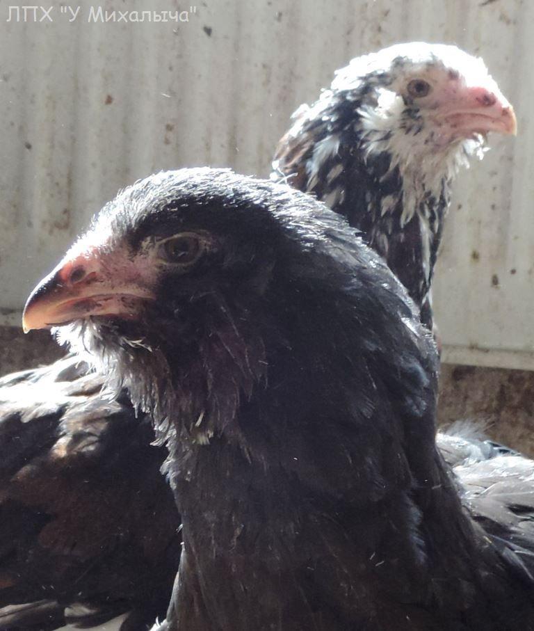 Гилянская порода кур, Gilan breed chickens - Страница 5 Oaez-081