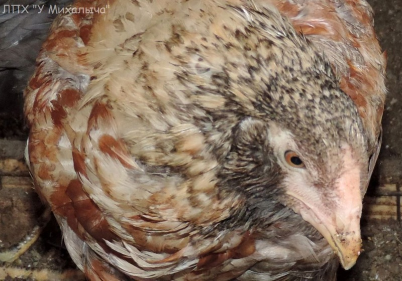 Гилянская порода кур, Gilan breed chickens - Страница 5 Oaez-082