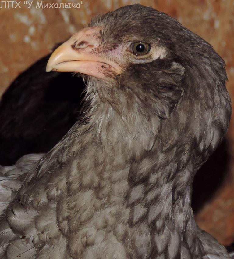Гилянская порода кур, Gilan breed chickens - Страница 5 Oaez-093