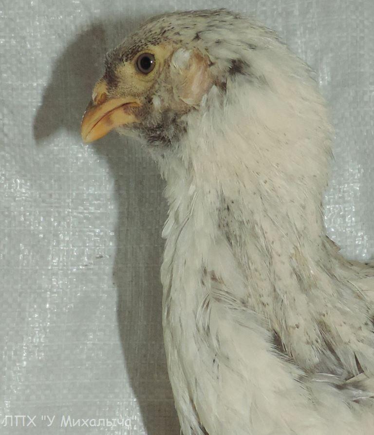 Гилянская порода кур, Gilan breed chickens - Страница 4 Oaez-101