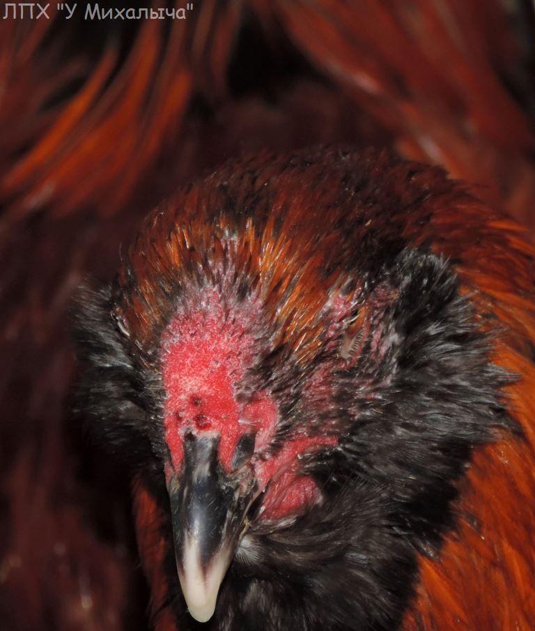 Гилянская порода кур, Gilan breed chickens Oaez-111