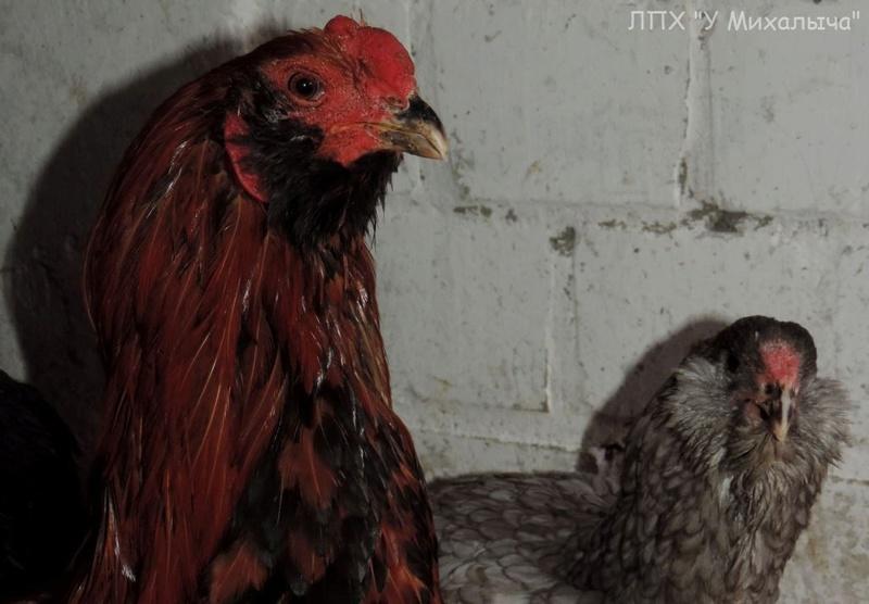 Гилянская порода кур, Gilan breed chickens Oaez-113