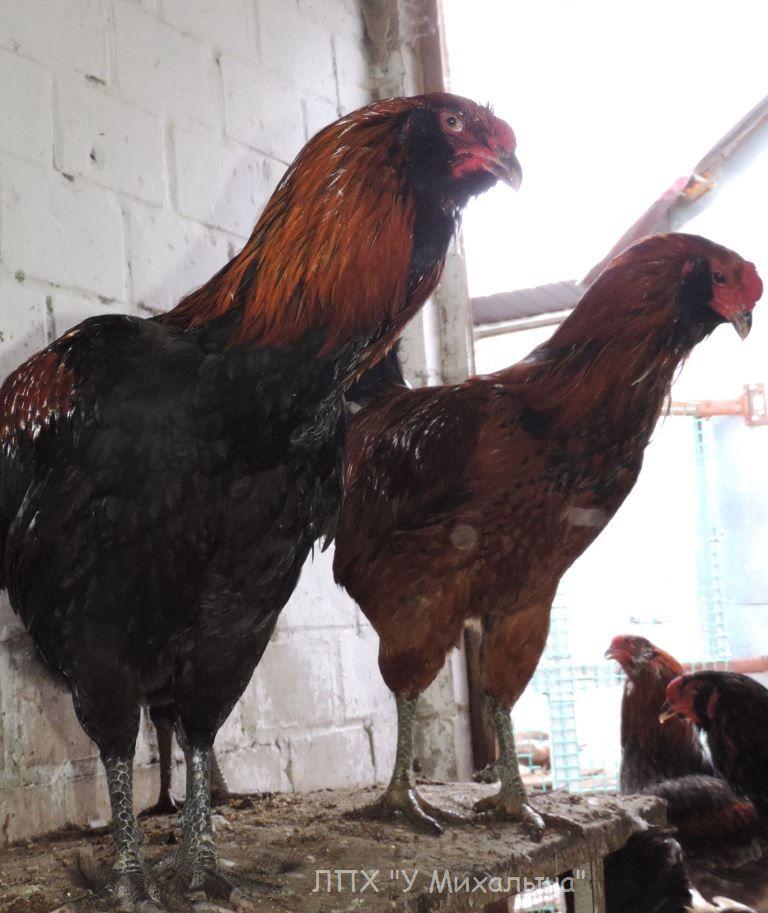 Гилянская порода кур, Gilan breed chickens - Страница 2 Oaez-127