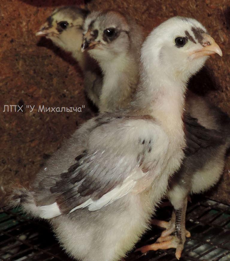 Гилянская порода кур, Gilan breed chickens - Страница 3 Oaez-134