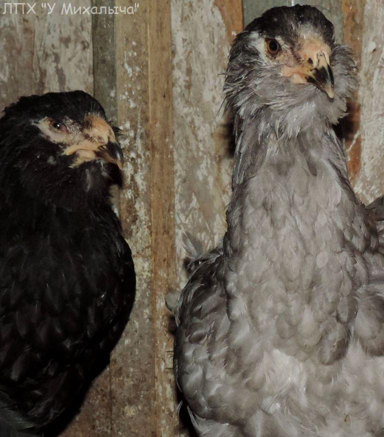 Гилянская порода кур, Gilan breed chickens - Страница 4 Oaez-186