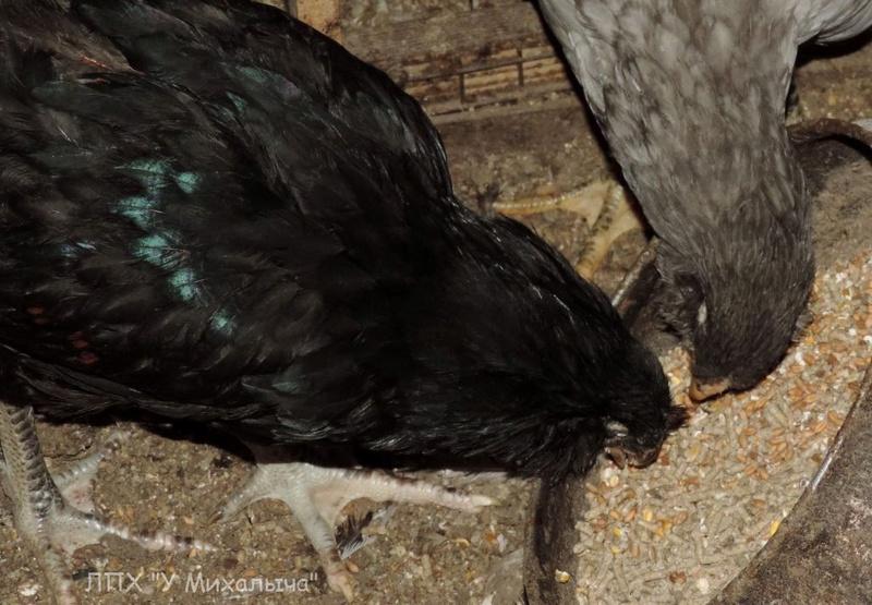 Гилянская порода кур, Gilan breed chickens - Страница 4 Oaez-187