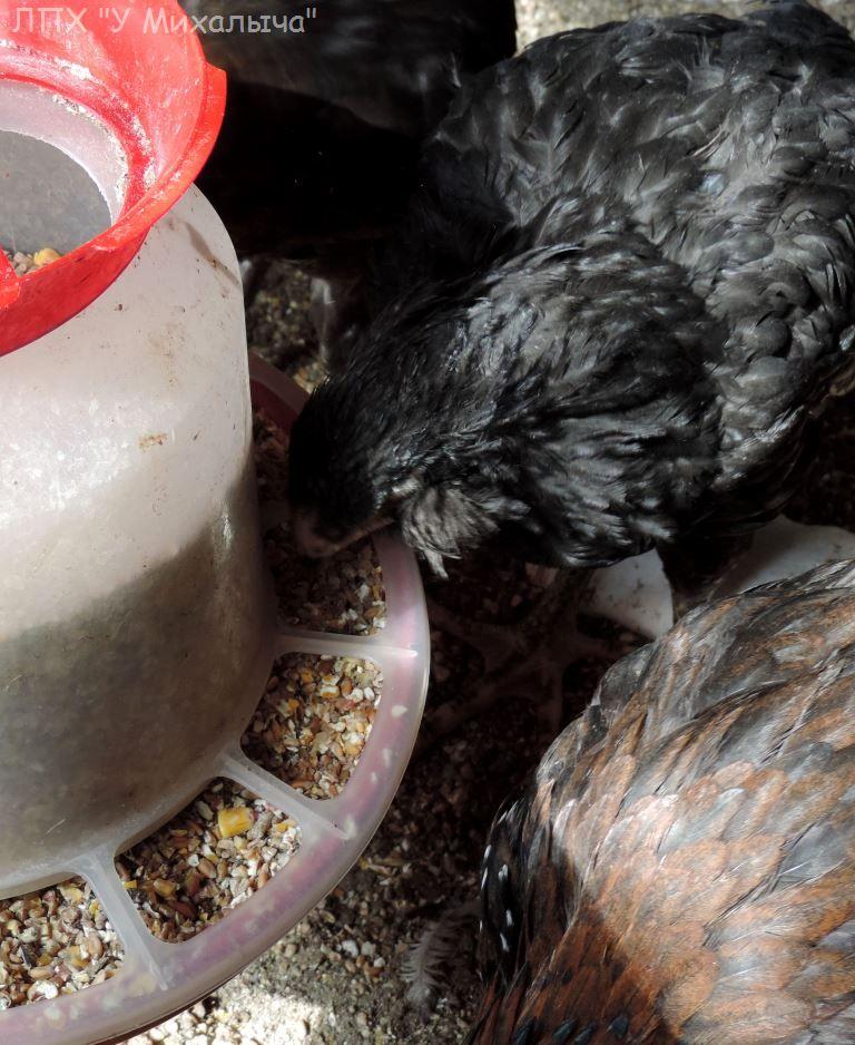 Гилянская порода кур, Gilan breed chickens - Страница 4 Oaez-189