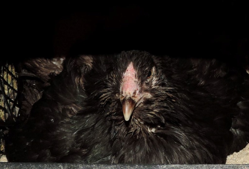Гилянская порода кур, Gilan breed chickens - Страница 3 Oaez-235