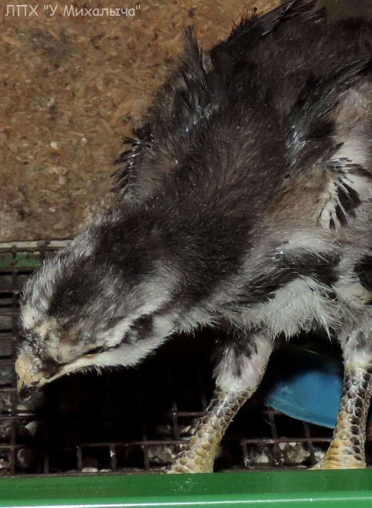 Гилянская порода кур, Gilan breed chickens - Страница 3 Oaez-249