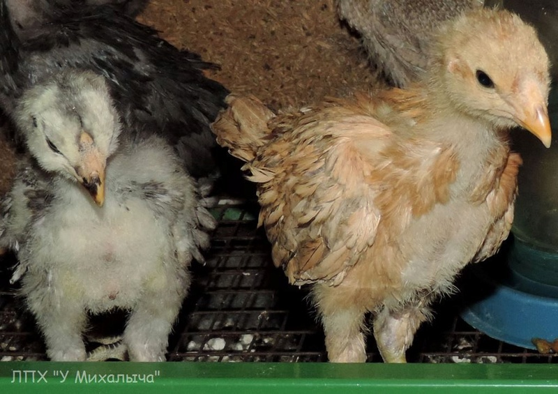 Гилянская порода кур, Gilan breed chickens - Страница 3 Oaez-253