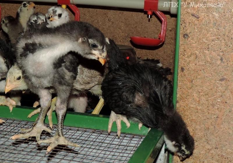 Гилянская порода кур, Gilan breed chickens - Страница 3 Oaez-264