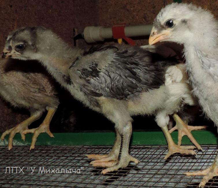 Гилянская порода кур, Gilan breed chickens - Страница 3 Oaez-278