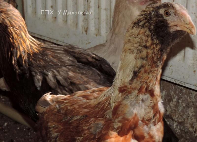 Гилянская порода кур, Gilan breed chickens - Страница 5 Oaez-301