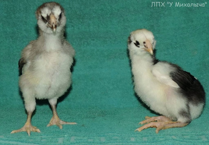 Гилянская порода кур, Gilan breed chickens - Страница 5 Oaez-343