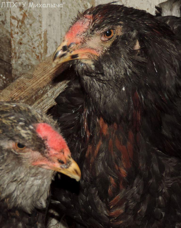 Гилянская порода кур, Gilan breed chickens - Страница 5 Oaez-360