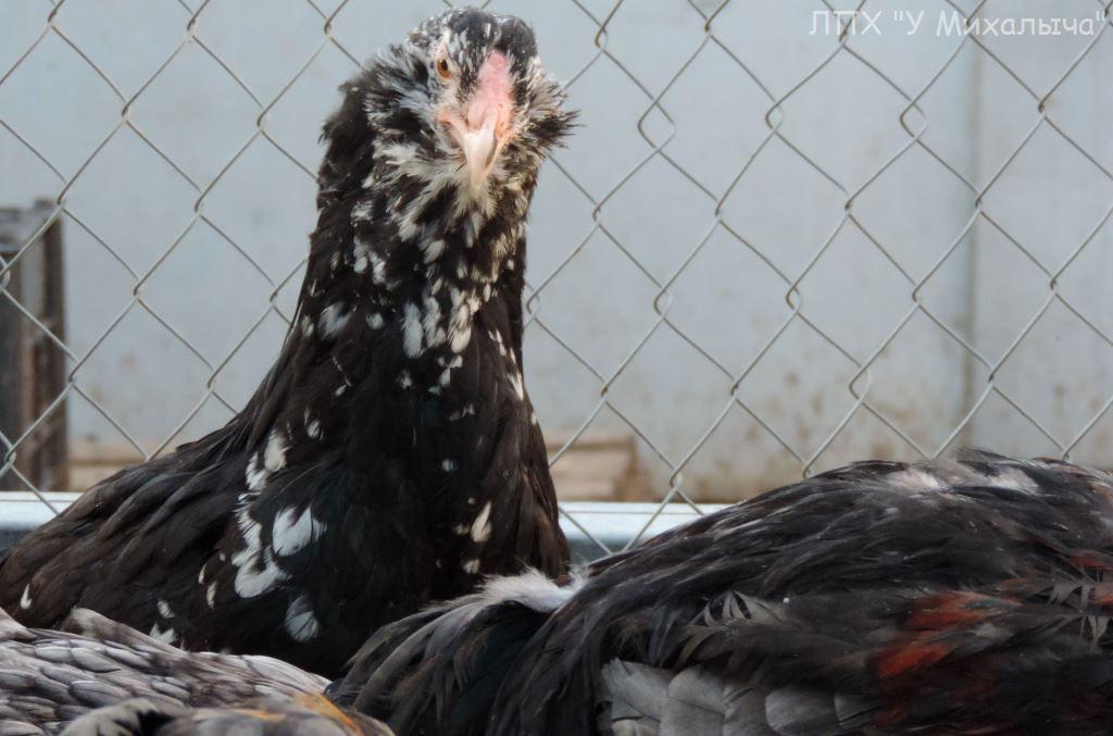 Гилянская порода кур, Gilan breed chickens - Страница 5 Oaez-363