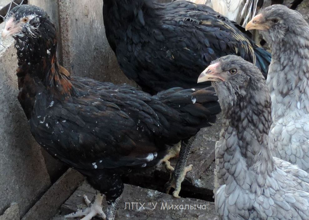 Гилянская порода кур, Gilan breed chickens - Страница 5 Oaez-365