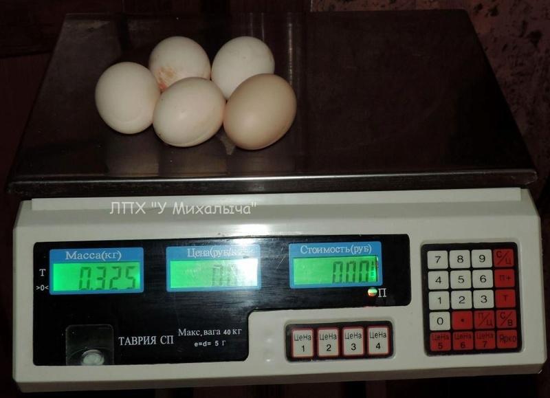 Гилянская порода кур, Gilan breed chickens - Страница 3 Oaez-e15