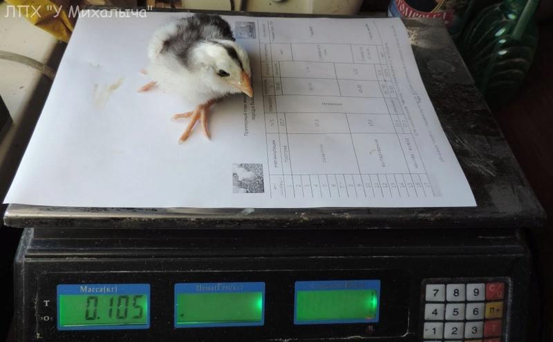 Гилянская порода кур, Gilan breed chickens - Страница 3 Oaez_e17
