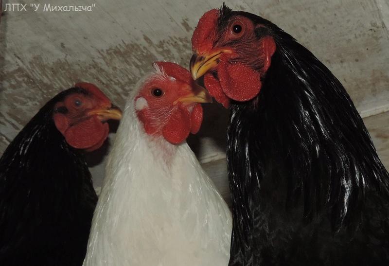 Карликовая дрезденская порода кур, Dresden bantam chickens Oeeez-12