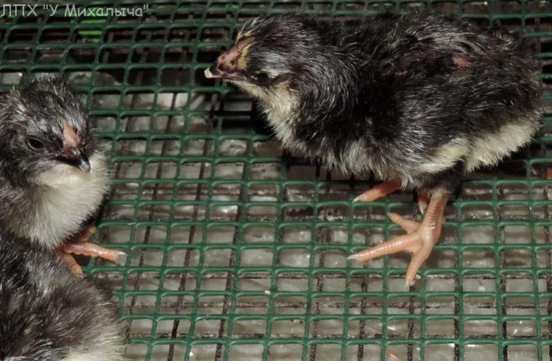 Карликовая дрезденская порода кур, Dresden bantam chickens Oeeez-21