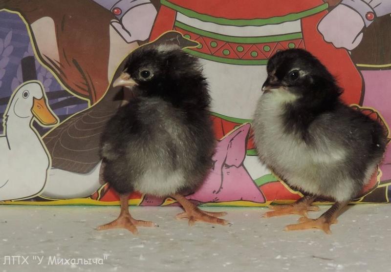 Карликовая дрезденская порода кур, Dresden bantam chickens Oeeez-29