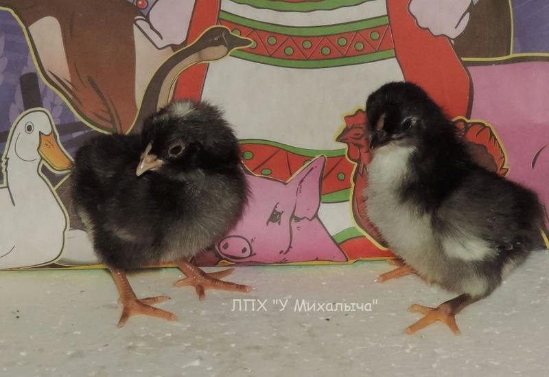 Карликовая дрезденская порода кур, Dresden bantam chickens Oeeez-31