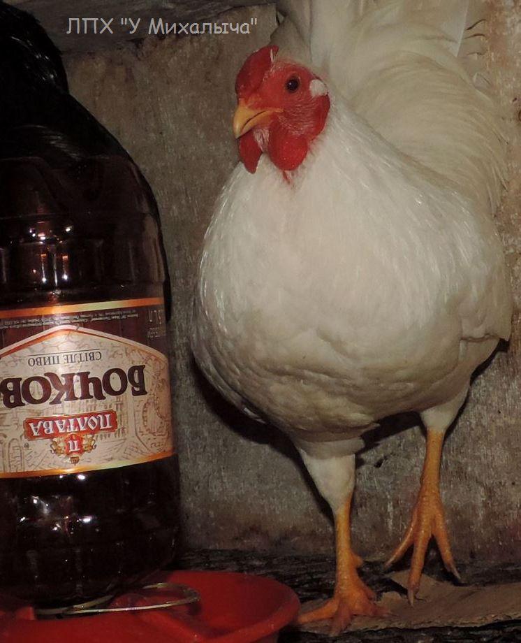 Карликовая дрезденская порода кур, Dresden bantam chickens Oeeez-45