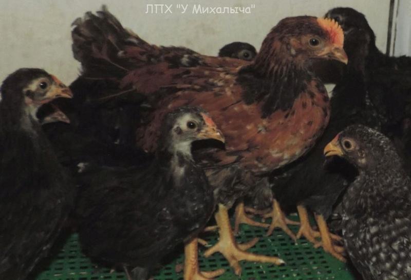 Карликовая дрезденская порода кур, Dresden bantam chickens Oeeez-49
