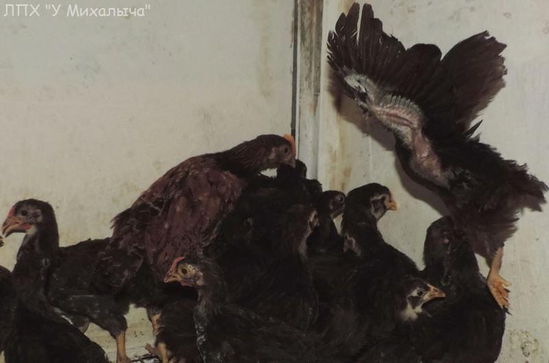 Карликовая дрезденская порода кур, Dresden bantam chickens Oeeez-52