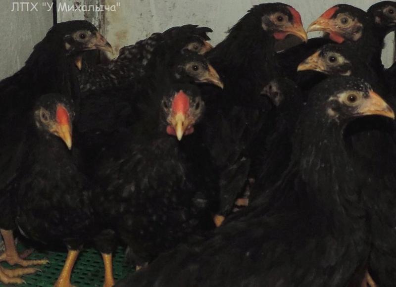 Карликовая дрезденская порода кур, Dresden bantam chickens Oeeez-65