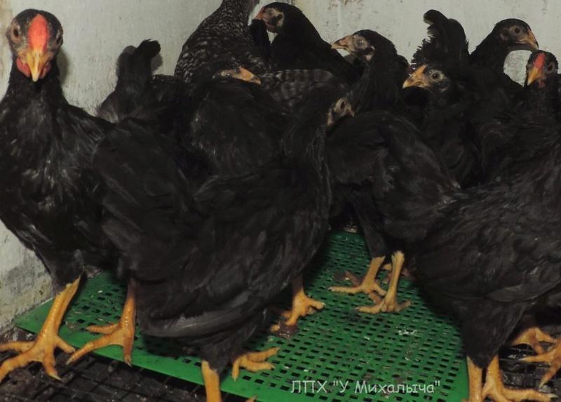 Карликовая дрезденская порода кур, Dresden bantam chickens Oeeez-67