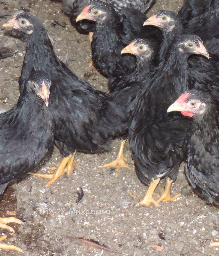 Карликовая дрезденская порода кур, Dresden bantam chickens Oeeez-71