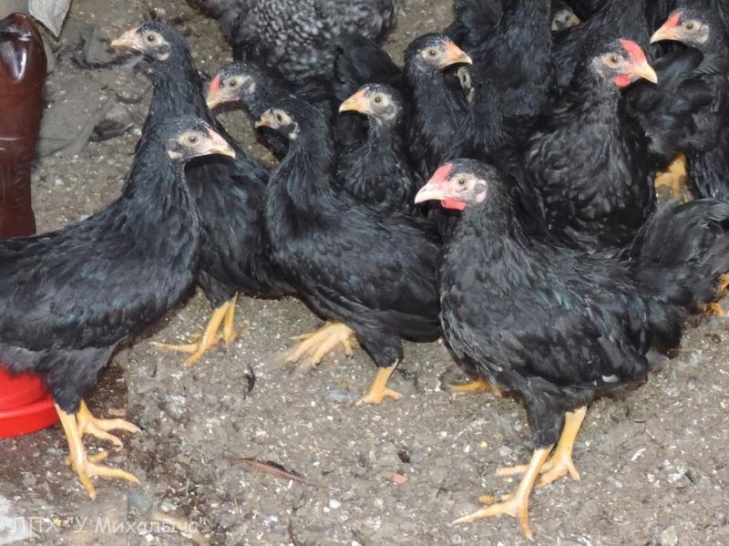 Карликовая дрезденская порода кур, Dresden bantam chickens Oeeez-72