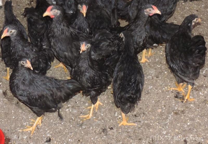 Карликовая дрезденская порода кур, Dresden bantam chickens Oeeez-73