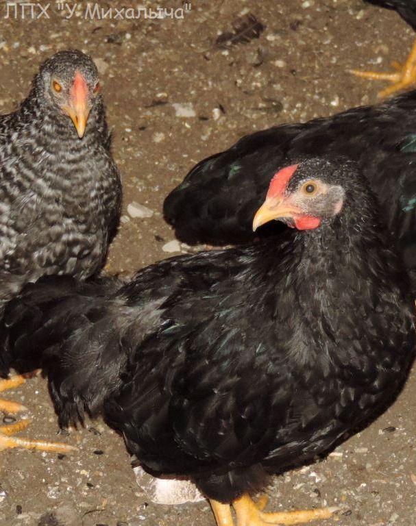 Карликовая дрезденская порода кур, Dresden bantam chickens Oeeez-76