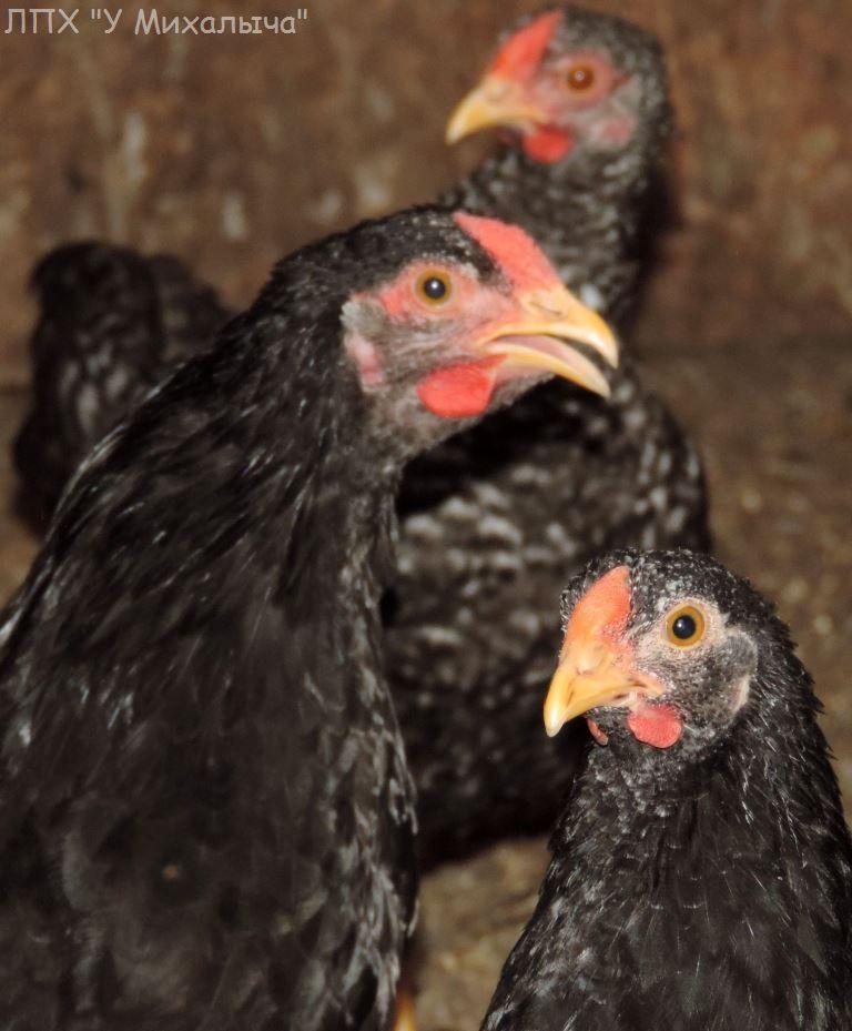 Карликовая дрезденская порода кур, Dresden bantam chickens Oeeez-81