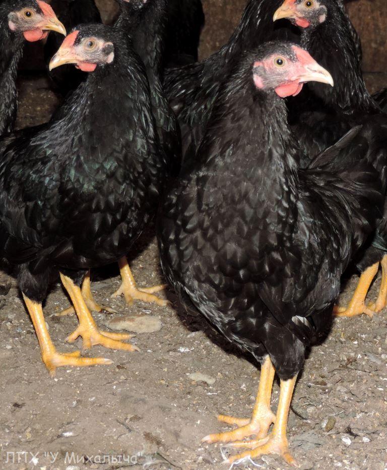 Карликовая дрезденская порода кур, Dresden bantam chickens Oeeez-82