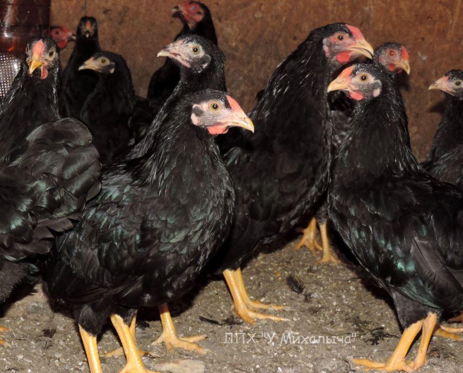 Карликовая дрезденская порода кур, Dresden bantam chickens Oeeez-83