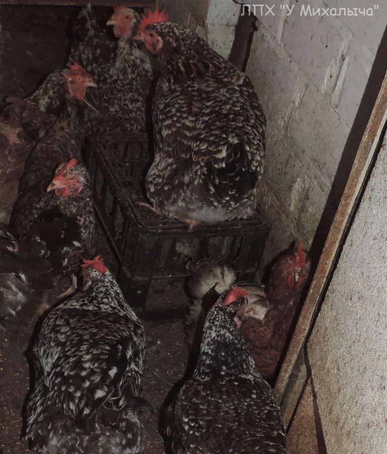 Полтавская ситцевая популяция кур - Страница 5 Y-040311