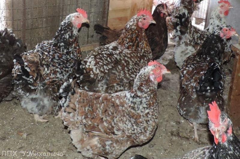 Полтавская ситцевая популяция кур - Страница 5 Y-050415