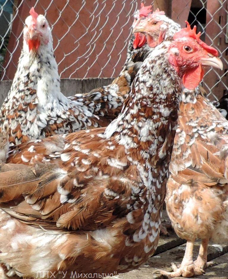 Полтавская ситцевая популяция кур - Страница 5 Y-050417
