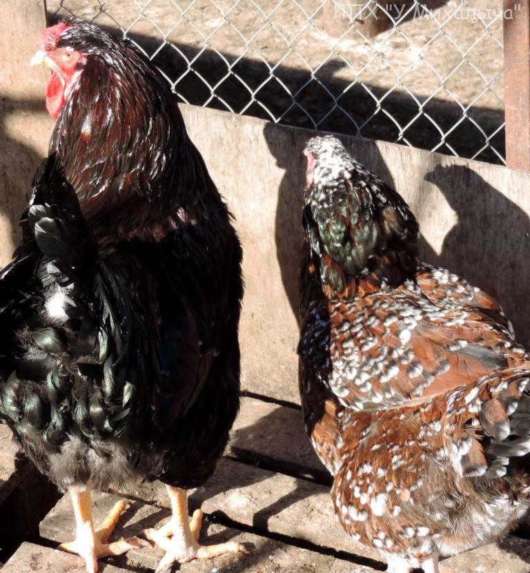 Полтавская ситцевая популяция кур - Страница 5 Y-080412