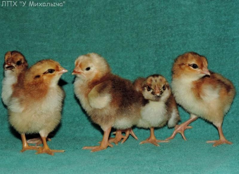 Полтавская ситцевая популяция кур - Страница 5 Y-090512