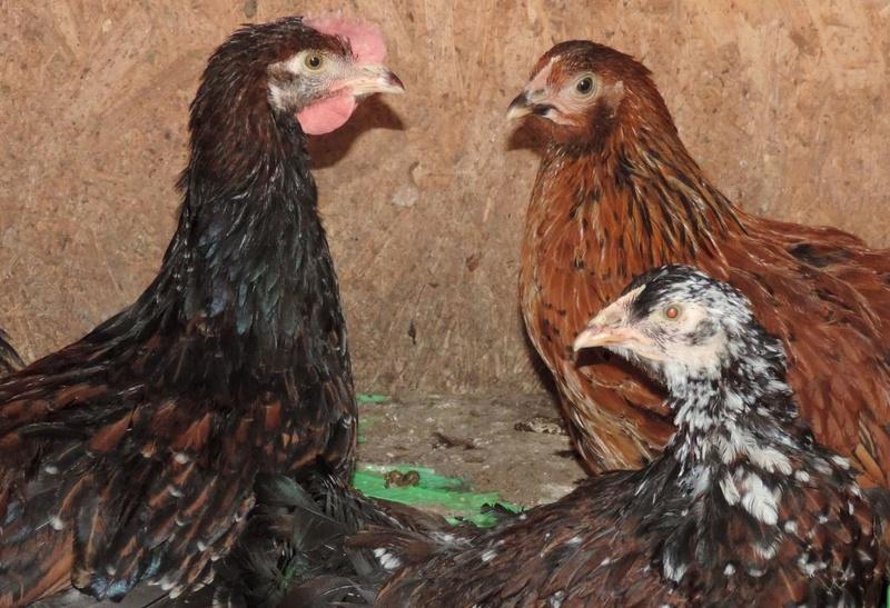 Полтавская ситцевая популяция кур - Страница 5 Y-200313