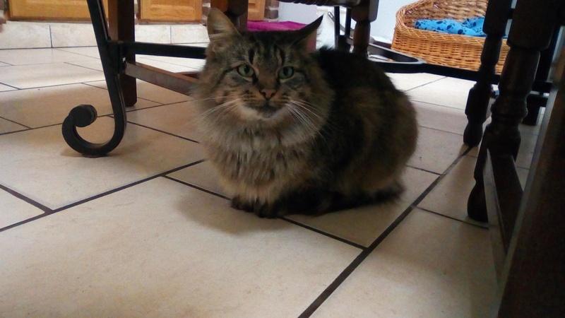 ALVIE  chatte tigrée 2 ans 24209710