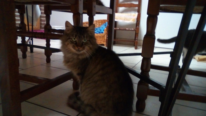 ALVIE  chatte tigrée 2 ans 24209910
