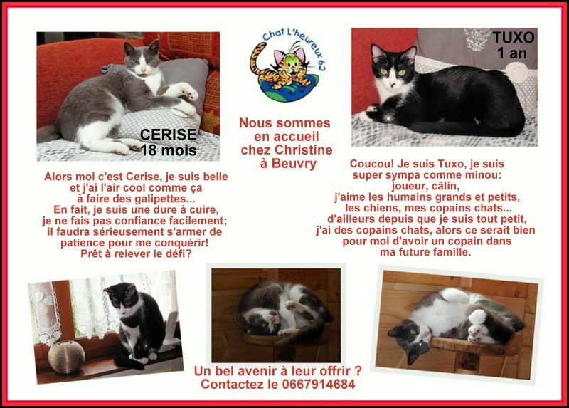 CERISE, chatte grise et blanche Cerise11